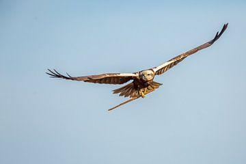 Bruine kiekendief bouwt nest. van Erik de Rijk