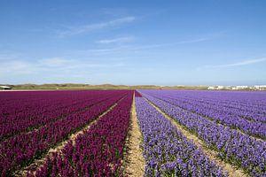 Hyacinten velden tot de horizon van