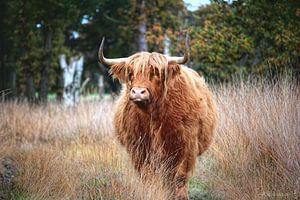 Schotse Hooglander Koe