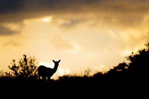 Fallow deer @ sunset