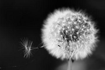 Löwenzahn mit Samen im Wind von Henry Oude Egberink
