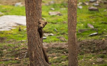 Jonge Bruine beer  van Rando Kromkamp