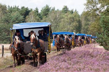 Paardenkoetsen, natuurgebied Osterheide, Schneverdingen, L�neburger Heide, Nedersaksen, Duitsland, E van Torsten Krüger