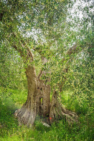 De oude olijfboom