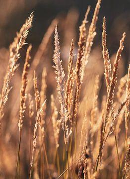 Gräser bei Sonnenuntergang von Noor van Duijvenboden