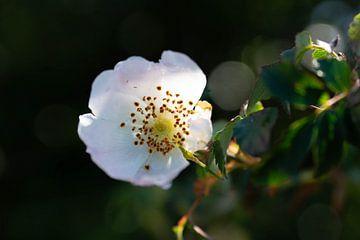 Weißdornblume von Glenn Vlekke