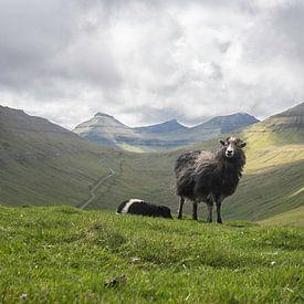 Faeröer Sheep van Mark Leek