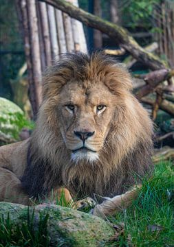 De koning van het dierenrijk van De fotograafer