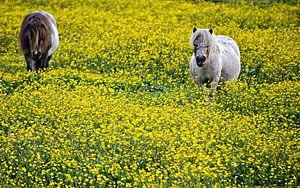 Shetlanders in een gele bloemenweide