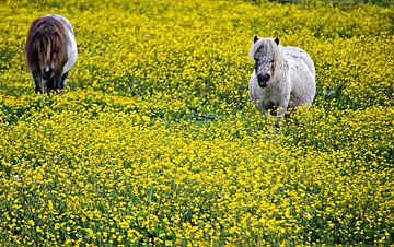 Shetlanders in een gele bloemenweide van Jessica Berendsen