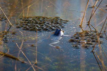 Blauer Frosch schwimmt zwischen Froschlaichen in einem Moor von Ger Beekes