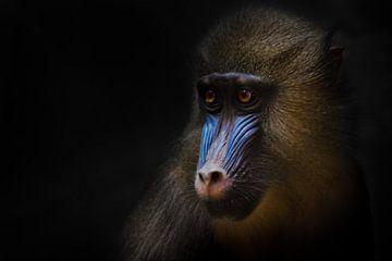 Niedliche goldene Mähne und blau junge Rafiki junge weibliche Mandrill aus Afrika von Michael Semenov