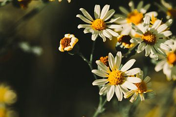 Gänseblümchen von Ilse Hoen