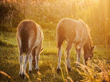 Wilde Exmoor veulens bij zonsondergang