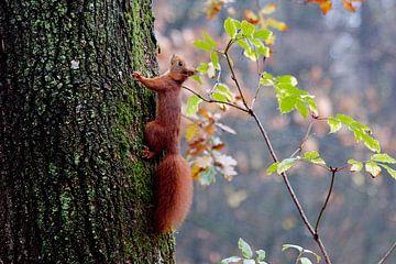 Eichhörnchen von Rob Rijfkogel