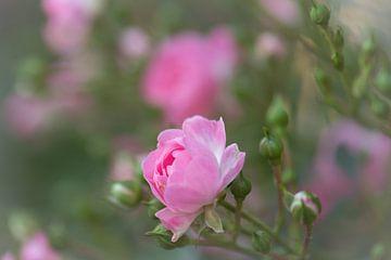 rose tendre sur Tania Perneel