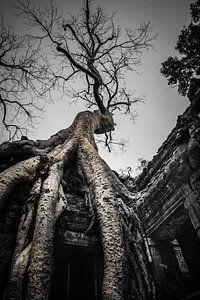 Boom, Ta Prohm tempel