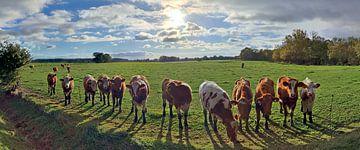 Panorama von Kühen auf einer Weide im Sonnenuntergang