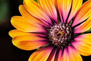 Oranje lila Margriet in de zon II van Mister Moret Photography