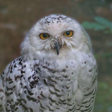 Snowy Owl van Ralf Schroeer