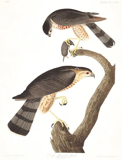 Amerikaanse Sperwer van Birds of America