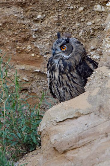 Eurasian Eagle Owl ( Bubo bubo ), young, hiding behind rocks, watching attentively, bright orange ey