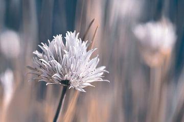 Schnittlauchblüte , Allium von Violetta Honkisz