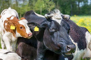 Portret kop van koe met kalf samen in wei van Ben Schonewille