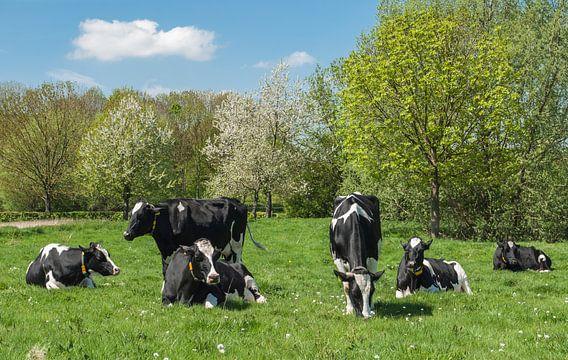 Voorjaars moeheid, koeien in het weiland