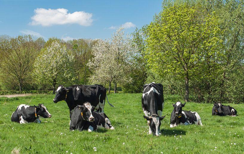 Voorjaars moeheid, koeien in het weiland van Leo Langen