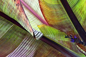 Bananenblätter im Herbstlicht van