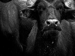 Badende Buffel van