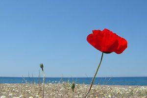 Klaproos aan Grieks strand van