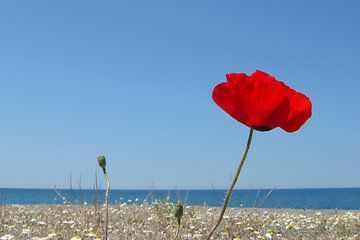 Klaproos aan Grieks strand van Rob IJsselstein