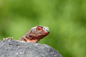 Rode lava hagedis von