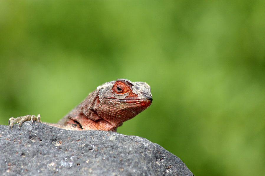 Rode lava hagedis
