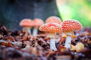 Fliegenpilze im Wald von Fotografiecor .nl