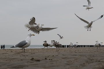 meeuwen op het strand van domburg van Frans Versteden