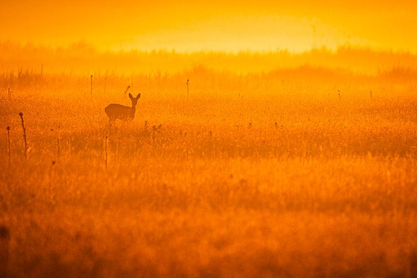 Ree in veld van Sam Mannaerts Natuurfotografie
