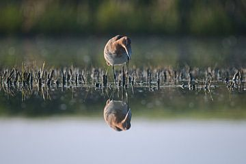 Grutto lopend door het water van Mike Bos