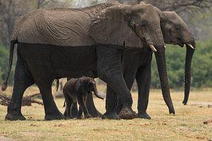 olifanten van Ed Dorrestein