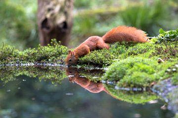 Eeekhoorn drinkt water uit vijver van STEVEN VAN DER GEEST