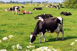 Koeien in de wei in Nederland van
