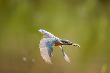 IJsvogel,  Alcedo atthis. Kingfisher van Gert Hilbink