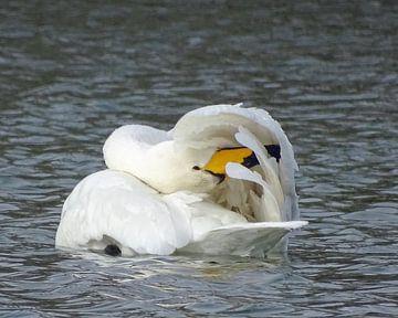 Wilde zwaan. van Robert Moeliker