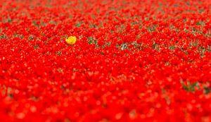 De gele tulp in een veld van rood