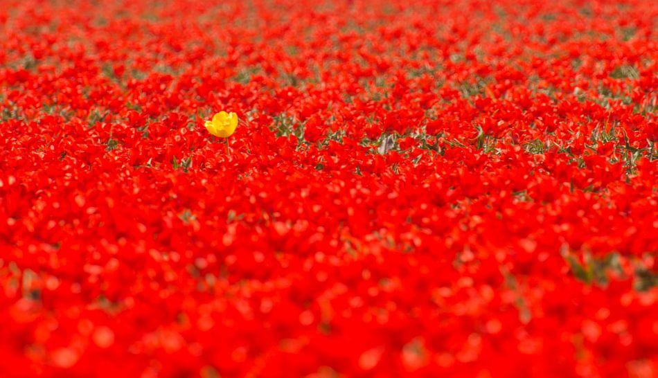 De gele tulp in een veld van rood van Sjoerd van der Wal
