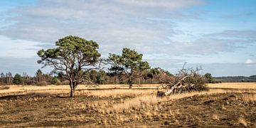 Eenzame bomen in Park de Hoge Veluwe van MICHEL WETTSTEIN