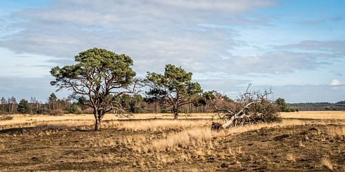 Eenzame bomen in Park de Hoge Veluwe