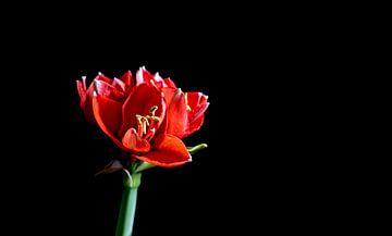 ein roter Amaryllis auf schwarzem Hintergrund von Compuinfoto .